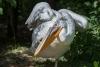hadí muž! - tedy pelikán ...